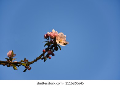 Apple tree flower on a twig by a blue sky