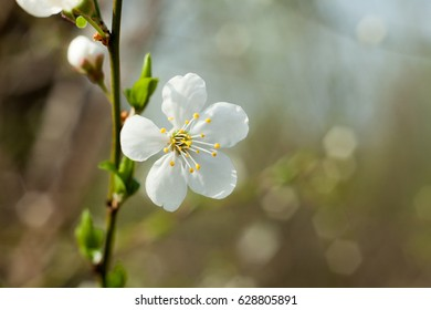 Apple tree flower on twig. Apple tree blossoming in spring.