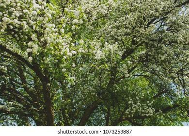 apple tree flowering in springtime