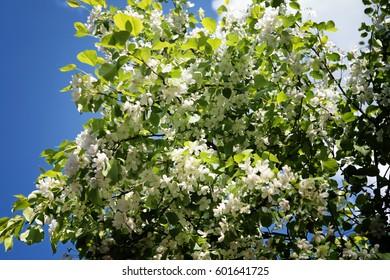 Apple Tree Flowers Blue Sky Spring Time