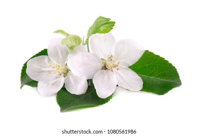 Apple tree flowers isolated on white background. Spring blossoms