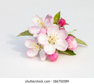 Apple tree flowers (Malus domestica) on a white background with clipping path
