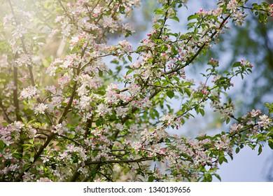 Apple tree flowers on blue sky