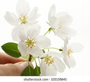 Apple tree flowers on white
