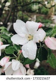 Apple tree flowers in raindrops spring garden background for advertising and printing.