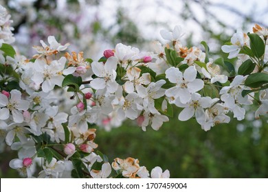 Apple tree flowers spring blooming Sort Malus sieboldii commonly called Siebold's crab, Siebold's crabapple or Toringo crabapple species of crabapple in the family Rosaceae. Malus toringo