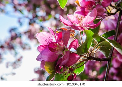 Apple tree in full blossom with white and pink flowers in June