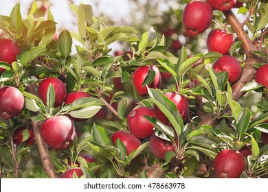 Apple tree. An apple tree full of ripe apples in an orchard, close up