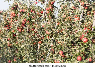 Apple tree full of ripe fruits