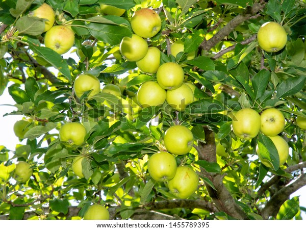 Apple tree full of ripening organic apples
