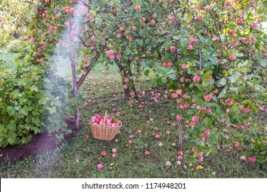 Apple tree garden in early morning with basket with apples and ladder  near fruit tree, agriculture concept