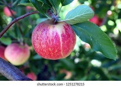 apple tree in garden on daytime