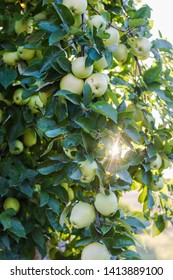 Apple tree garden in sunset, apples on the branches, old apple tree, agriculture concept