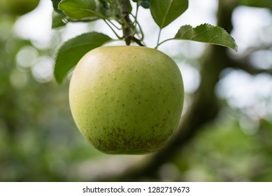 Apple tree and green apple, Young fruits of apple, on the branch