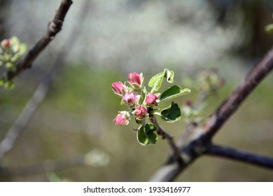 The apple tree is home. Apple trees in red and pink buds in early spring. The buds of the apple tree blossom on the branches.