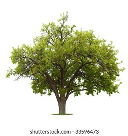 Apple Tree isolated on a white background. Early summer, small apples are already showing