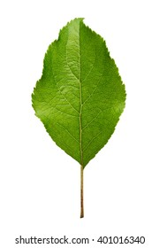 Apple tree leaf isolated on white background