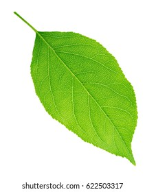 Apple tree leaf isolated on a white