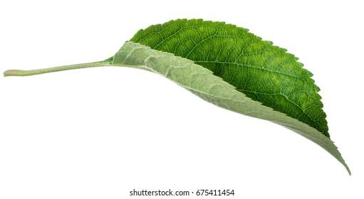 Apple tree leaf on white background