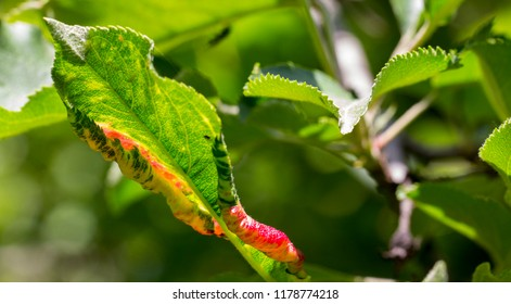 Apple tree leaves by fire blast or other infection or disease