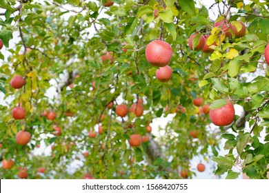 Apple tree located in the Apple Park of Aomori Japan