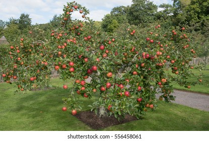 Apple Tree 'Lord Lambourne' (Malus) in an Orchard in a Country Cottage Garden in Rural Devon, England, UK