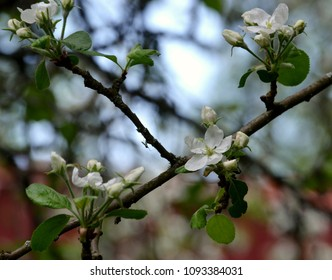 Apple tree, Malus domestica blossoming in the springtime, beautiful white flowers