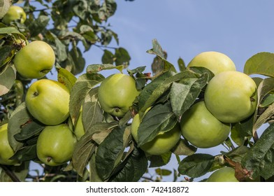 Apple Tree (Malus domestica) in garden, Moscow region, Russia