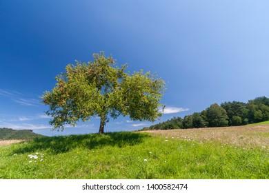 Apple tree (Malus domestica) on a meadow
