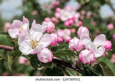 Apple Tree (Malus domestica) in orchard, Moscow region, Russia