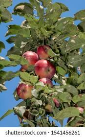 Apple Tree (Malus domestica) in orchard