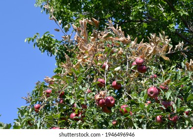 Apple tree. Malus. Summer abstract background of nature. Spider web on a Apple tree. Caterpillars. Pests on Apple tree branches. Summer