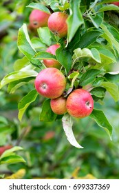 Apple tree with many red apples