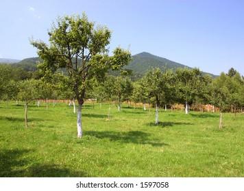 apple tree meadow