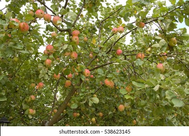 Apple tree in a monastery garden with red apples on branches in rosy near the town of Volokolamsk