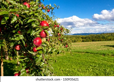 Apple tree in nature