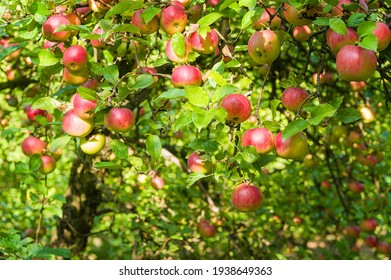 Apple tree in old orchard.