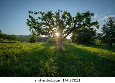 Apple tree on green meadow in back lit with sunbeams