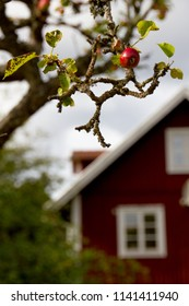 An apple tree with one last apple in autumn in front of a blurred out traditional red and white Scandinavian house in Smaland, Sweden