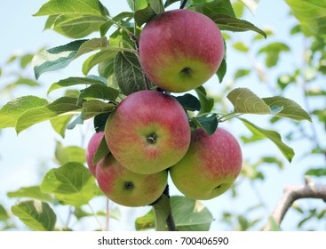 apple tree orchard organic fruits fresh agriculture summer harvest