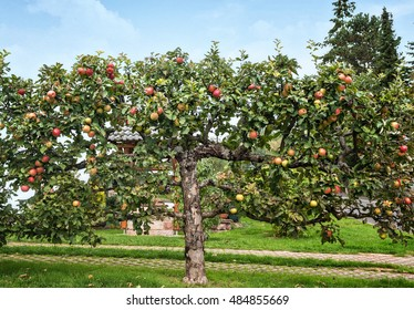 Apple tree in an orchard, with red apples ready for harvest