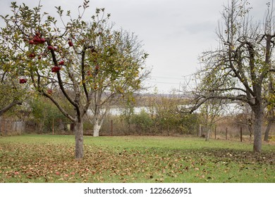 Apple tree and pear tree in a autumn orchard. The lake is located in the background.