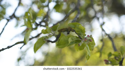 apple tree with pink flowers in a garden