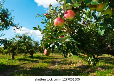apple tree plantation
