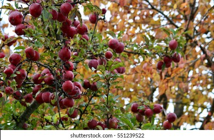 An apple tree, in a rainy autumn day
