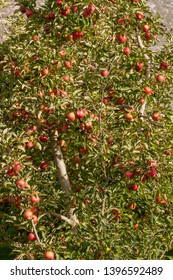 Apple tree ready for harvest in Autumn in Waboomskraal area near George South Africa