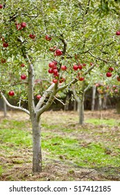 Apple tree with red ripe fruits in an orchard on harvest time
