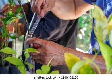 apple tree renovation by the grafting