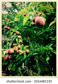 Apple tree and rosemary