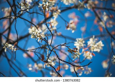 Apple Tree at Spring